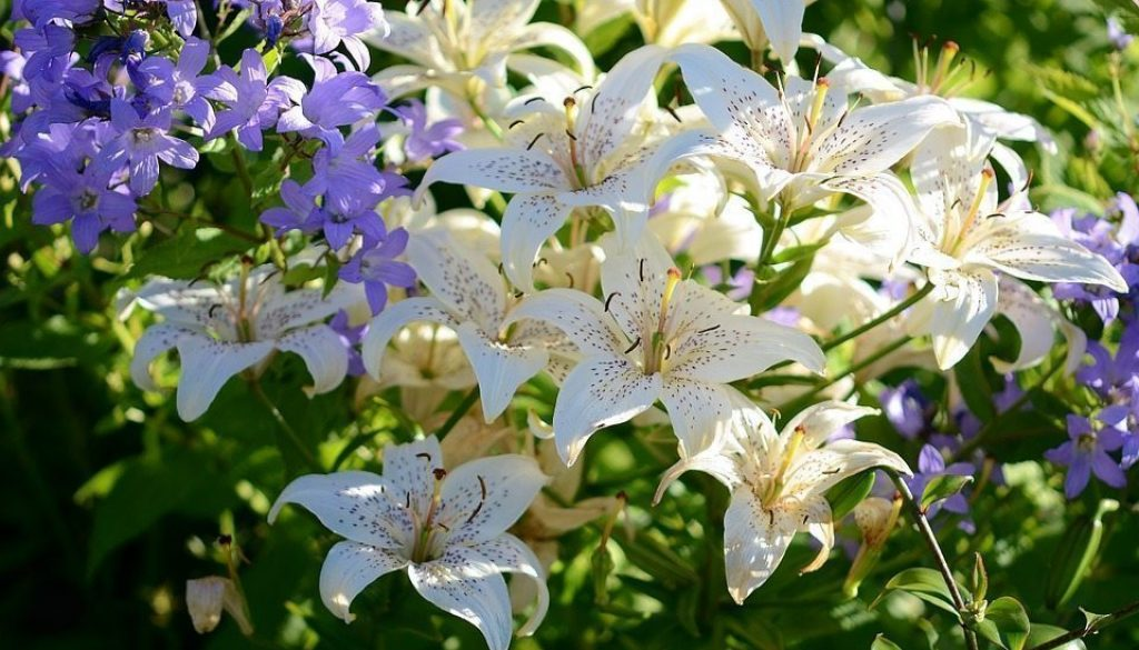 lily 418145_960_720